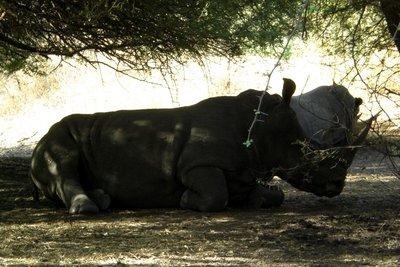 Reserve de Bandia - Rhinozeros 2009