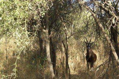 Reserve de Bandia - Anthilope 2009