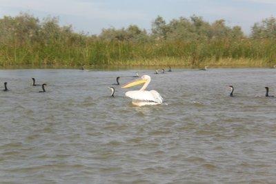 Parc du Djoudj - Swimming pelican 2009