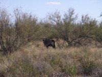 Kalahari - Gemsbok with single horn 2013