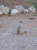 Kalahari - Mercat/Erdmännchen 2013