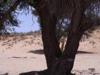 Kalahari - Giraffe hiding 2013