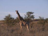 Kalahari - Giraffe 2013