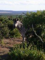 Addo - one Zebra 2013
