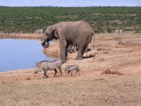 Addo - Warthogs, Elephants and Zebras 2013