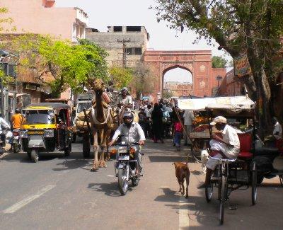 Jaipur_-_Camel.jpg
