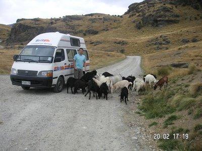 Steve feeding goats