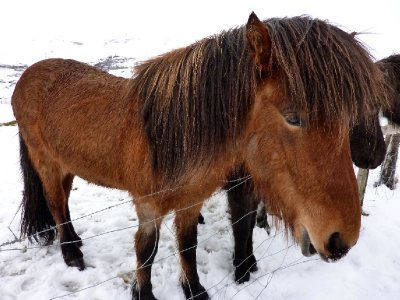 Icelandic horses by the roadside near Grimsnes