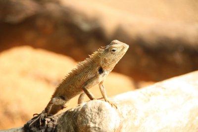 Yala National Park Beach Lizard