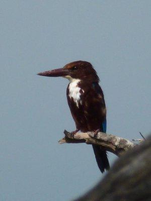 Yala National Park Kingisher