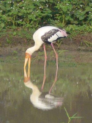 Yala National Park Flamingo