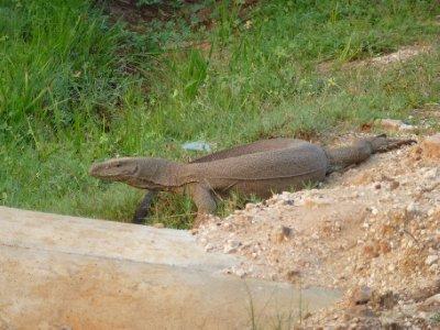 Yala National Park Iguana
