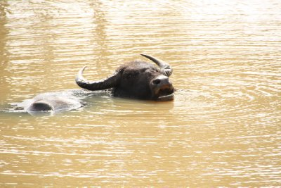 Yala National Park Buffalo bath
