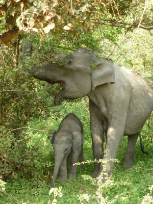 Yala National Park Elephant, Mum and Baby