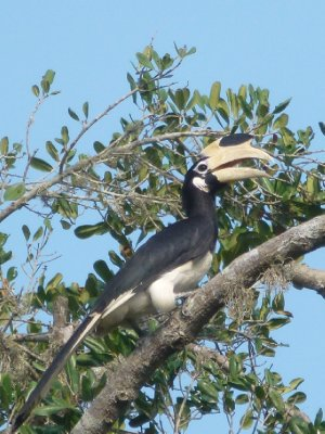 Yala National Park Hornbill