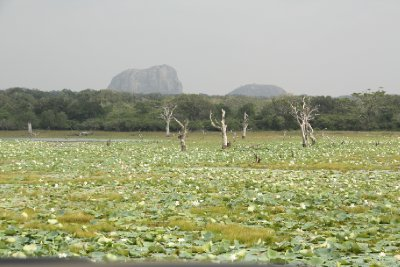 Yala National Park Lotus