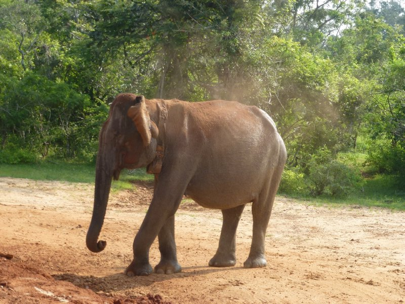 Yala National Park Elephant