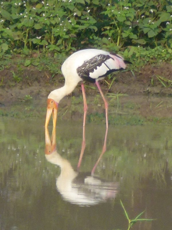 Yala National Park Flamingo
