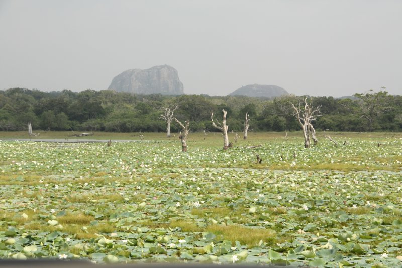 large_Yala_National_Park_Lotus.jpg