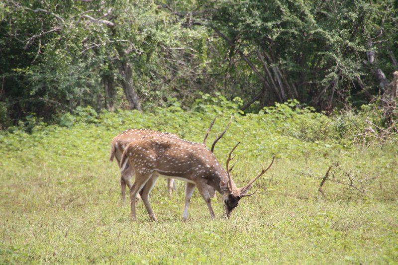 Yala National Park Stags