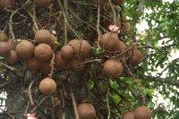 Kandy_Botanical_Gardens_2.jpg