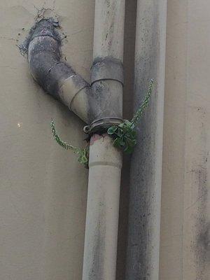 Life on a drainpipe