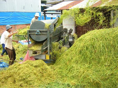 Rice Harvest