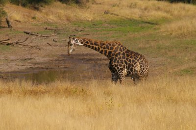 Giraffe water hole