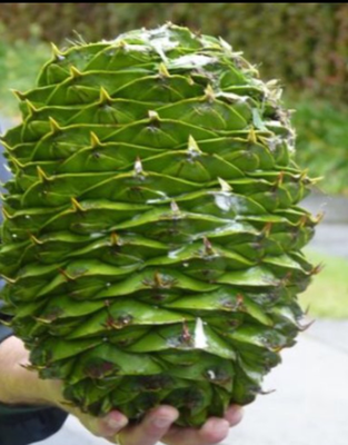This is a picture (of a picture) of a Bunya cone. It has 50-100 edible kernels inside. Luckily the cones had fallen before we arrived, so we only saw pictures. The cones can weigh over 13 lbs, but the norm is usually quite a bit less. At any rate, they are large enough to cause a serious head injury.