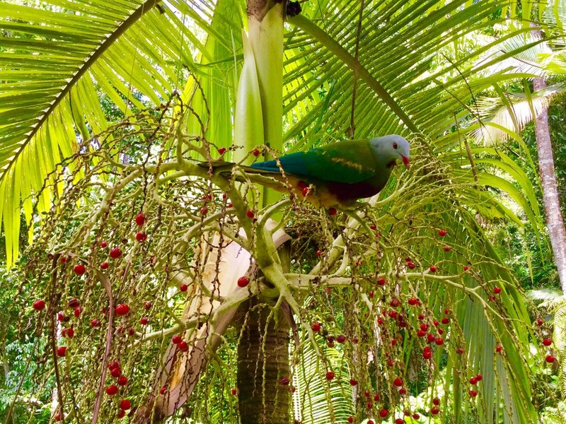 A wompoo fruit-dove was sampling fruit in the Daintree Rainforest.