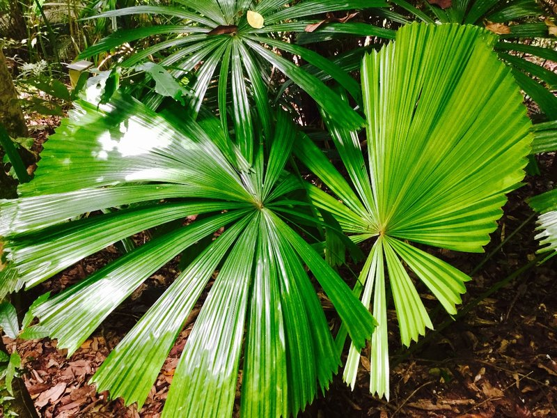 There is a small area at Daintree called the Valley of the Palms. It is filled with these fan palms.