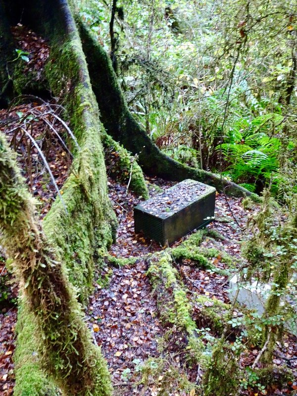 Our first encounter with traps was along the Six-Mile Matakitaki walk. It is common to have the following animals trapped in NZ: stoats, rats, weasels, ferrets, and possums ( the AU variety). None of them are native, and they have caused several native birds of NZ to be at risk for extinction.