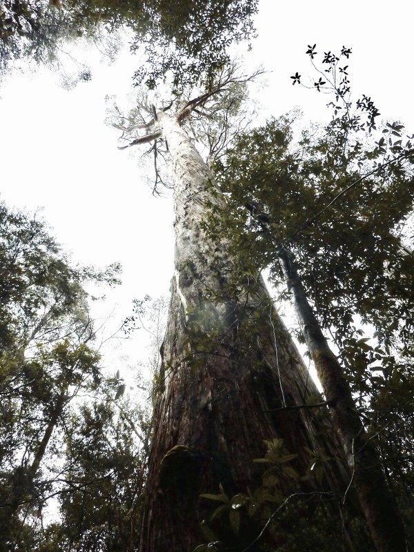 These swamp gums (Eucalyptus Regnans) are the second tallest trees in the world and are found only in Tasmania and Victoria.
