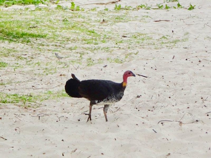 At Noosa Head, it was the brush turkeys on the beach instead of kangaroos!