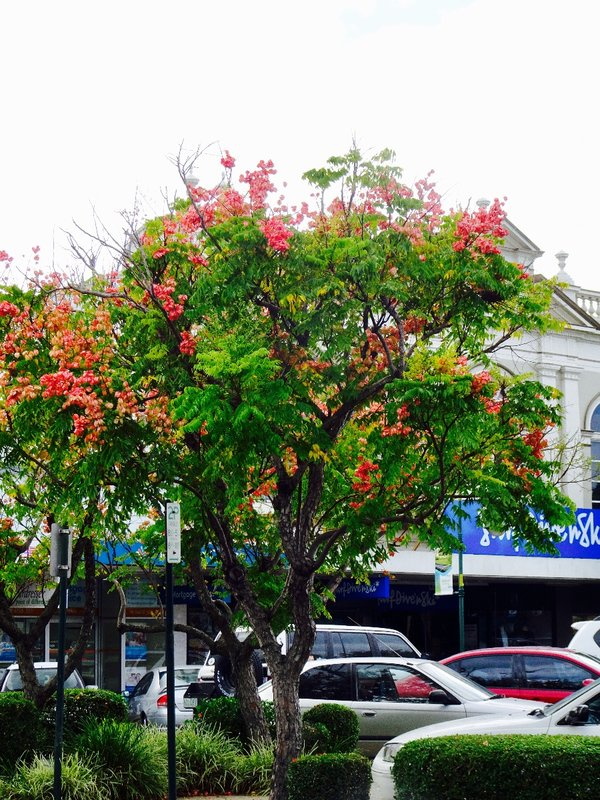 This tree was in bloom all over Bundaberg.