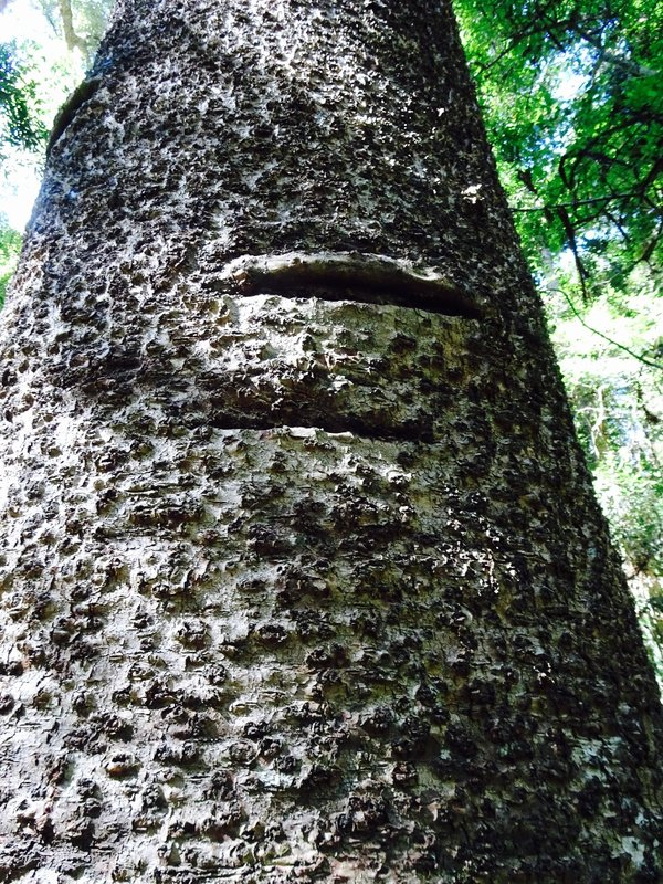 The trunks of the older Bunya pine have two toe holes at vertical intervals. The Aboriginal men used vines and also these toe holes to scale the trees. They would knock loose the Bunya cones that didn't fall down on their own.