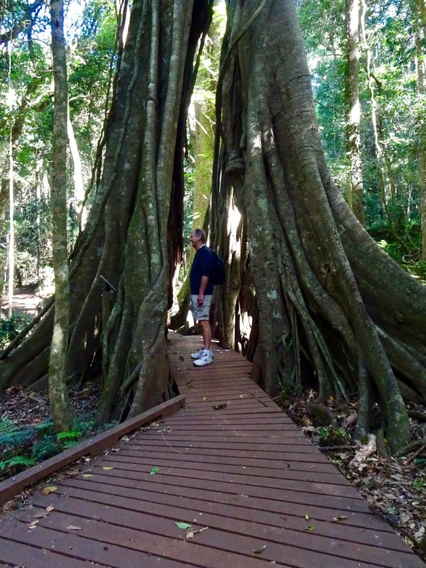 This is a strangler fig tree; it is over 400 hundred years old. It began it's life high on a tree and it's vines gradually killed the host tree. Greg is standing in the hollowed out part; this is where the original host tree was before it died.