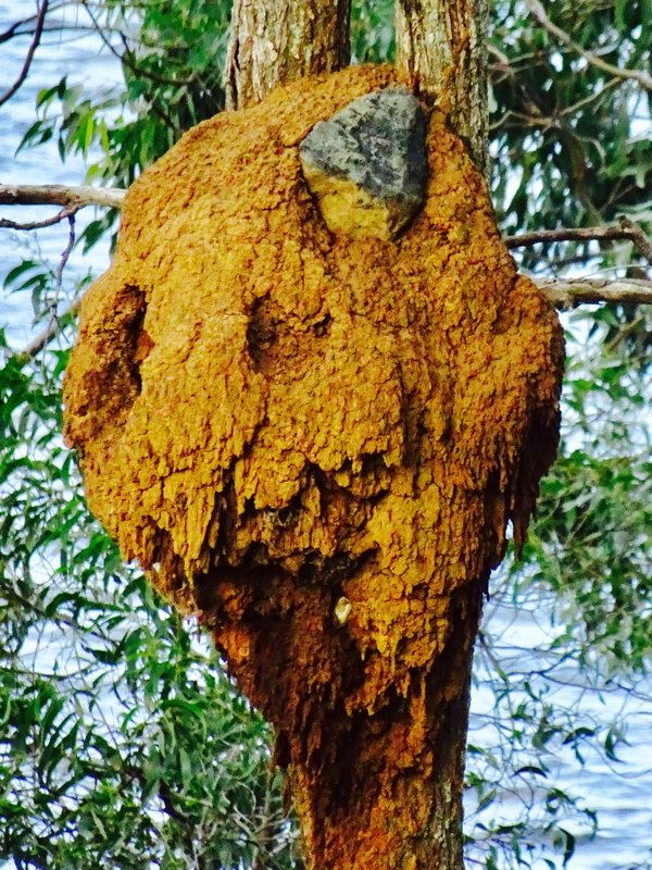At Lake Wivenhoe, I finally got to see a termite nest in a tree.