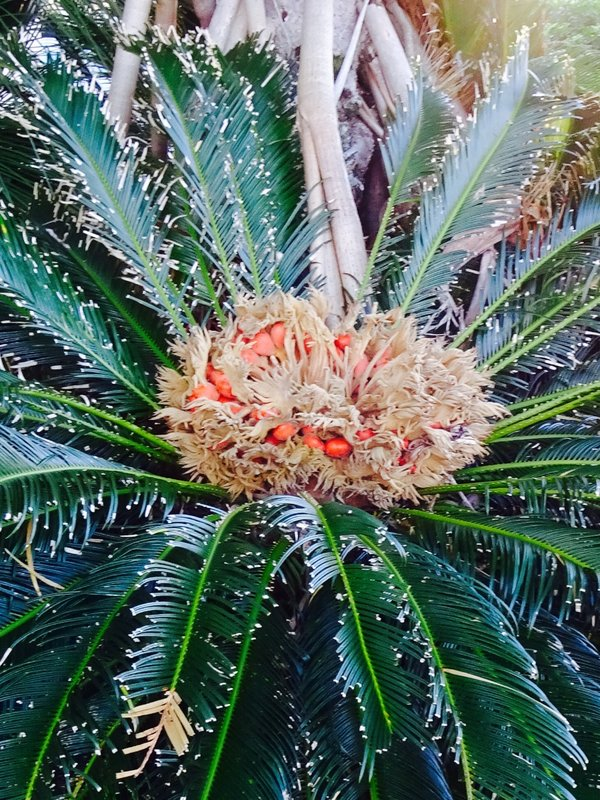 A palm that we saw at Byron Bay