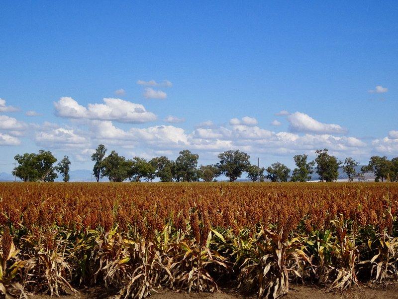 The grain sorghum fields are plentiful in this area..