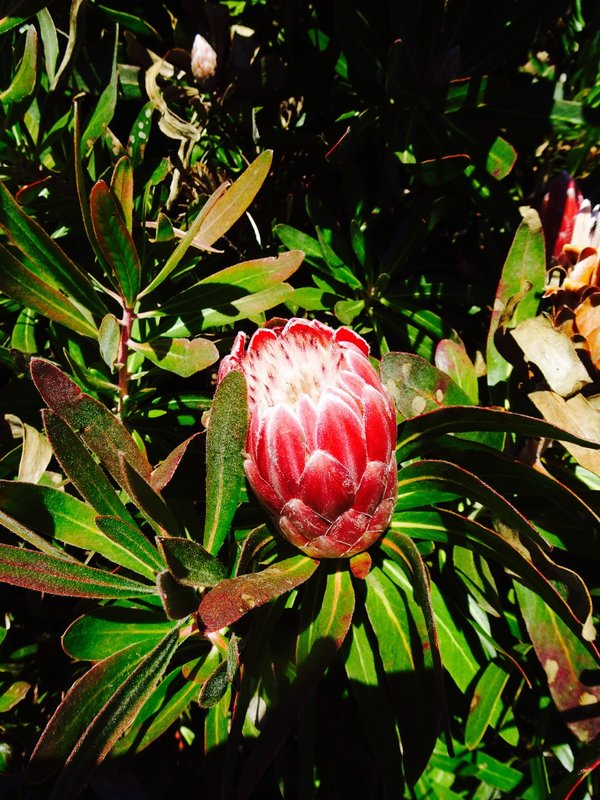 A type of Banksia that we saw at Mt Tomah.