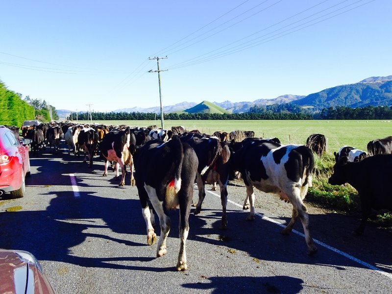 There is an official day for moving dairy cows in NZ called Gypsy Day. Between May 31st and June 1st, sharemilkers move their entire dairy herd to another farm. They also move their equipment and families. Sometimes the move is by truck, or if the distance is just a few miles, it can be done by the method we encountered when leaving Kaikoura. We drove amongst these dairy cows for 5-6 miles, not sure how far they were actually being moved.