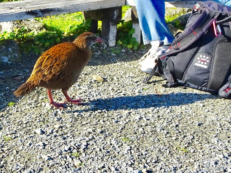 Wekas are known for being friendly and curious. They like to steal shiny objects. Obviously, this weka thought that a backpack on the ground was fair game.