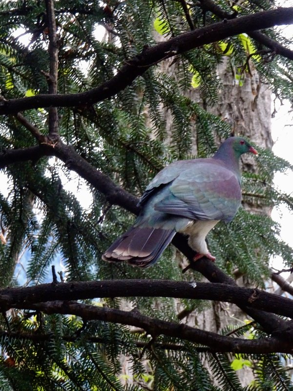 In NZ this native bird is called a kereru or NZ pigeon. Like the wompoo dove that we saw at Daintree, AU, it has the important role of eating large fruit and then spreading the seeds for long distances.