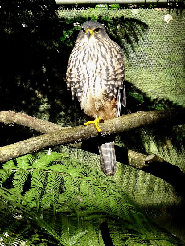 The New Zealand falcon or kārearea is New Zealand's only falcon.