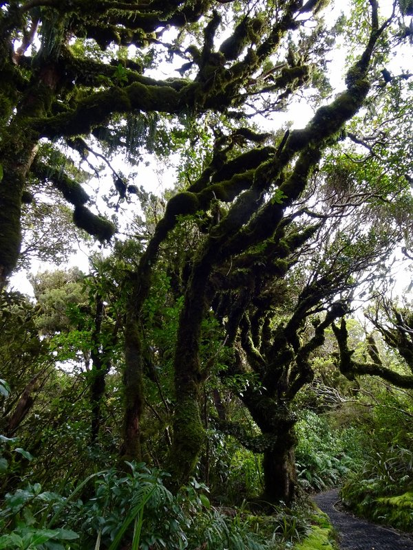 """The trail to Dawson Falls is through what is sometimes referred to as a """"goblin forest.""""  There are lots of tiny waterfalls; we walked through rimu and kamahi trees covered with moss and lichens."""