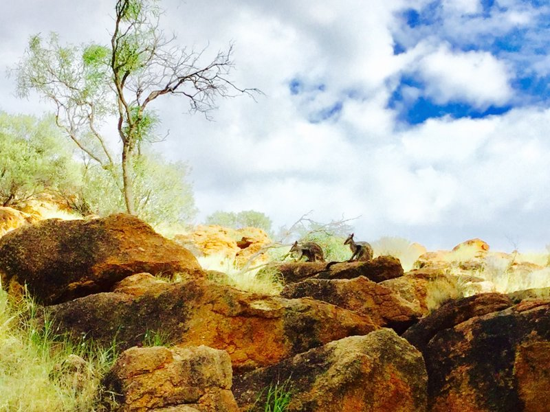 We also saw several Black-footed Rock-wallabies.