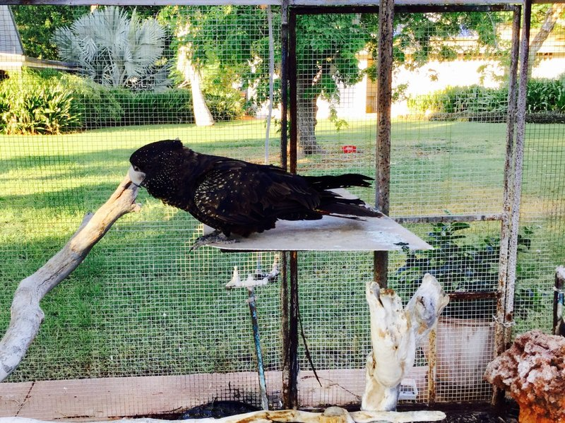 Our first sighting of a black cockatoo was at the Barkley Homestead. Black Cookatoos are only found in Australia; there are 5 species and several subspecies. This is a Red-tailed Black-Cockatoo.