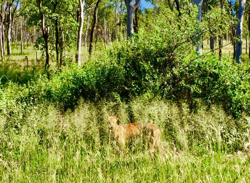 If you look carefully, you can see the dingo that we spotted along the Flnders Highway, after leaving Hughenton.