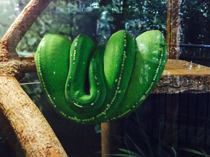 Lily is a green tree python. She has assumed a saddle position by looping a couple of her coils over the branches, and sticking her head in the middle.
